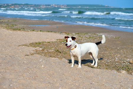 jack russell dog in the sand at the beach on summer vacation holidays Stock Photo