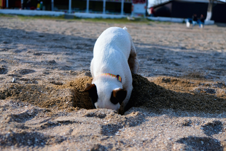 jack russell dog digging a hole in the sand at the beach, ocean shore behind