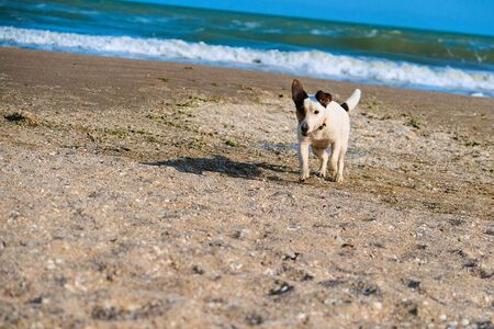 jack russell dog run on the sand at the beach on summer vacation holidays