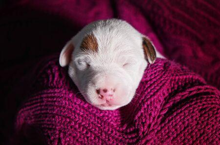 Cute puppy jack russell dog resting or sleeping on blanket. Reklamní fotografie