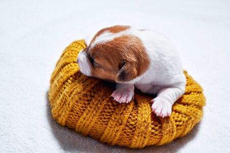Sweet sleeping jack russell puppy on bed from hat. Reklamní fotografie