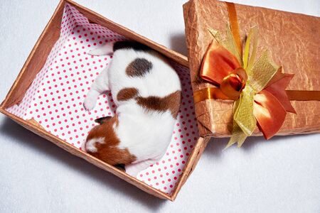 Puppy Of Jack Russell in a gift box top wiev