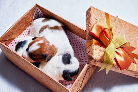Two cute Jack Russell Terrier puppies sleeping in a gift box closeup