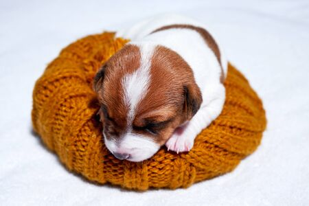 Sweet sleeping jack russell puppy on bed Archivio Fotografico