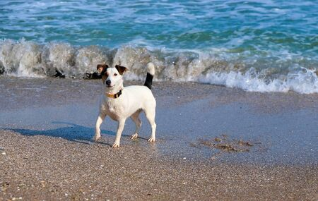 jack russell dog in the sand at the beach on summer vacation holidays Reklamní fotografie