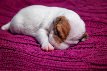 Cute puppy jack russell dog resting or sleeping on blanket. 免版税图像 - 151126001
