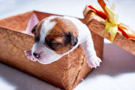 Little jack russel puppy in giftbox closeup 写真素材