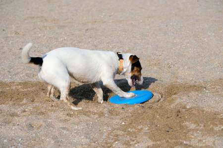 Dog playing with flying disk at sea beach on sand