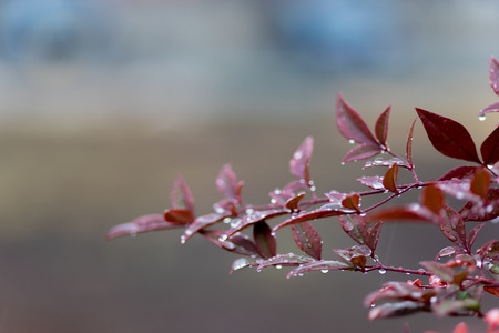 bough: Drops of water and Red leaves