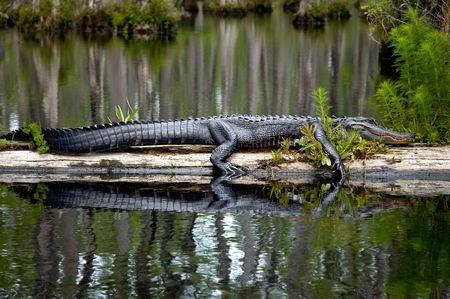 Gator laying on a log