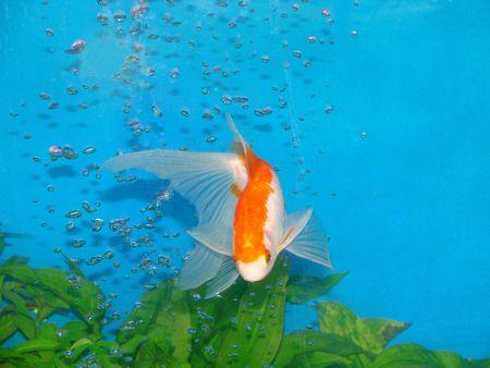 ornamental fish: Pesci ornamentali Archivio Fotografico