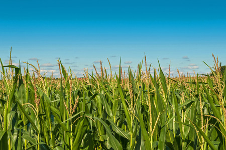 Corn Maize field with clouds photo