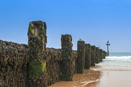 groyne: Wooden Groyne Coastal Defence Covered in Seaweed