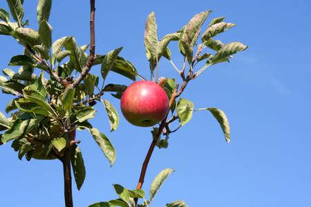 Apple tree with bright blue sky Imagens
