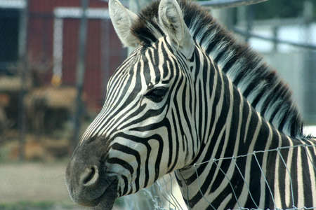 Head of a zebra Stock Photo - 5364343