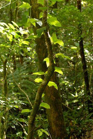 cosa: Costa Rica,Trees in forest in Cosa Rica Stock Photo