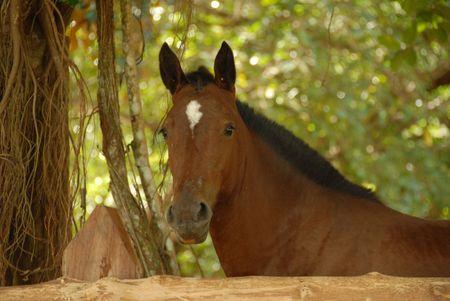 Costa Rica,Horse looking at camera