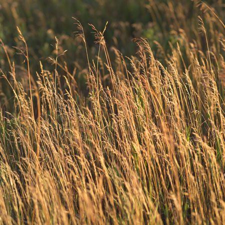 Canadian Prairies,Wheat field Stock Photo - 2348522