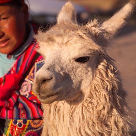 クスコ、ペルーのラマ