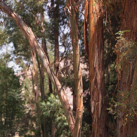 Peru - Sacred Valley, Trees in Peru