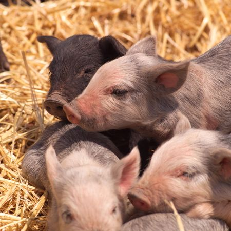 piglets: Peru - Sacred Valley,  pigs Stock Photo