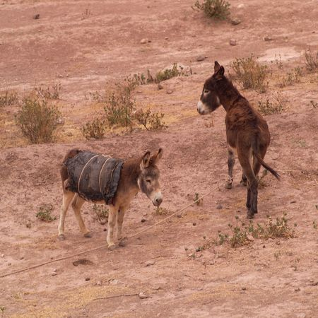 Peru - Sacred Valley, Donkeys in field