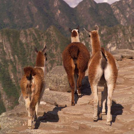 Peru - Machu Picchu, Rear view of Lamas in Peru