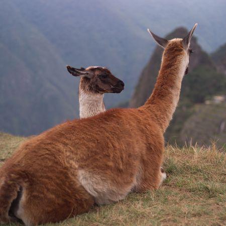 the lama: Peru - Machu Picchu, lama