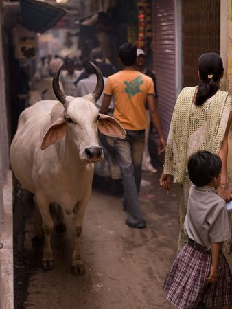india cow: Varanasi, India - Livestock and people in alley