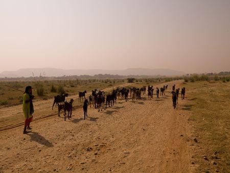 Rajasthan, India - herd of goats 版權商用圖片