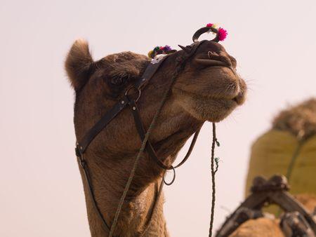 라자스탄, 인도 - 낙타