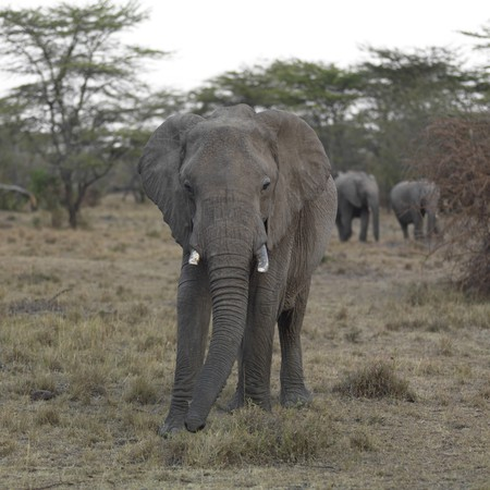 Olifanten in Kenia Afrika Stockfoto