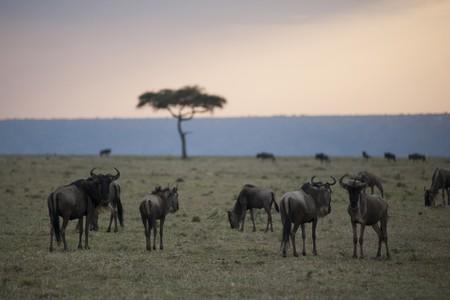 Wildebeest wildlife in Keyna photo