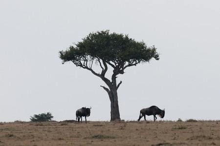 wildebeest: Wildebeest wildlife in Keyna