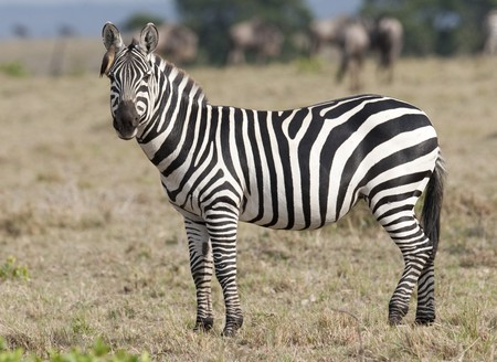 Zebra wildlife in Kenya photo