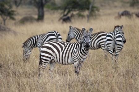 levit: Zebra wildlife in Kenya Stock Photo