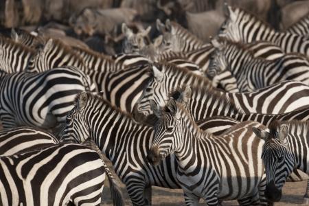 Zebra wildlife in Kenya 写真素材