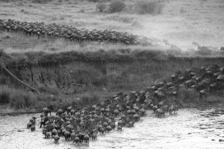 wildebeest: Herd of wildebeests in Kenya