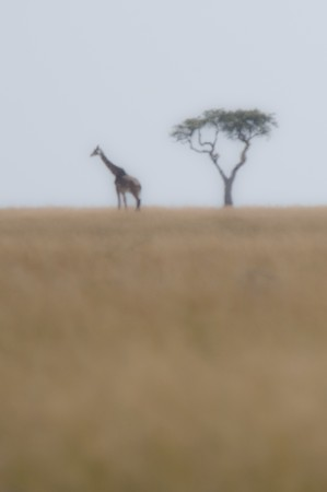 levit: Giraffe by tree in Kenya Stock Photo