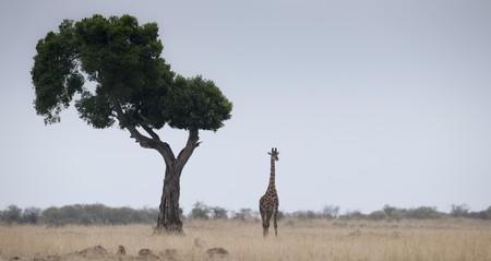 Giraffe by tree in Kenya Stock Photo