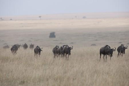 levit: Herd of wildebeests in Kenya
