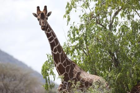 levit: Giraffe wildlife in Kenya Stock Photo