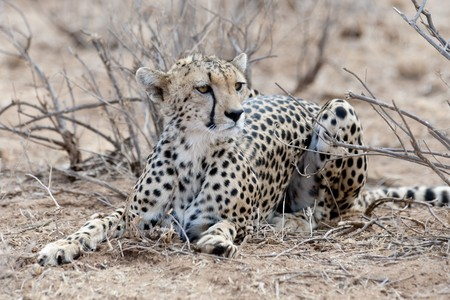levit: Cheetah wildlife in Kenya