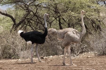 Ostrich wildlife in Kenya Imagens
