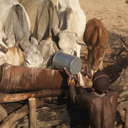 Tribesman tending to cattle in Kenya Africa