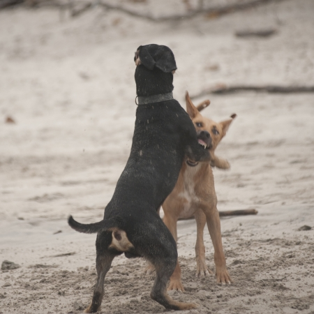 Twee honden die op het strand in Costa Rica vechten