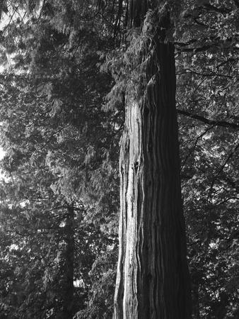 Tree in Vancouver, British Columbia, Canada Stok Fotoğraf - 9260200