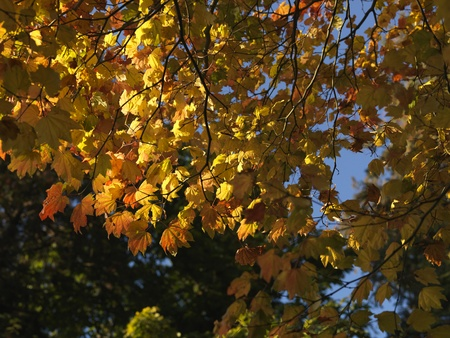 Autumn leaves in Vancouver, British Columbia, Canada photo