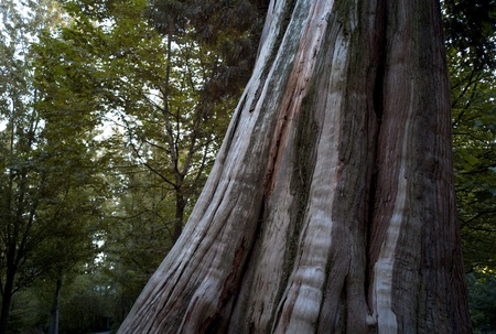 Tree Trunk in Stanley Park in Vancouver, British Columbia, Canada Stock Photo - 9260151