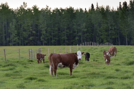 Cattle grazing in a pasture, Northern Alberta, Alberta, Canada photo